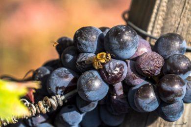 l'ape si posa sull'uva